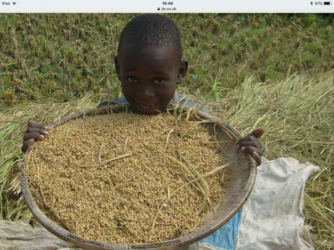 Harvest in Malawi